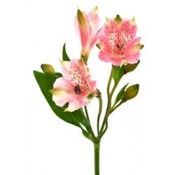Альстромерия розовая.