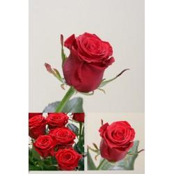Роза. Красная.